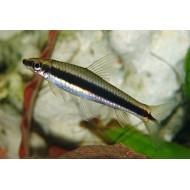 Сиамский водорослеед САЕ (Epalzeorhynchos siamensis) - 4-5см