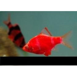 Барбус GloFish красный неон(Puntius tetrazona Glofish) - 2см