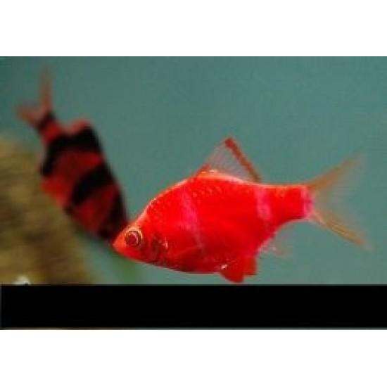 Фото Барбус GloFish красный неон(Puntius tetrazona Glofish) - 2см Смотреть