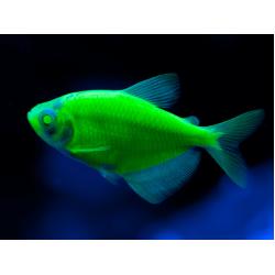 Тернеция глофиш GloFish темно-зеленая (Gymnocorymbus ternetzi) - 2-3см