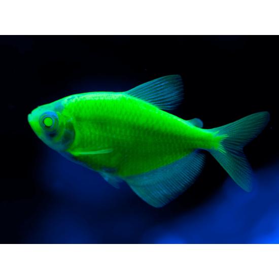 Фото Тернеция глофиш GloFish темно-зеленая (Gymnocorymbus ternetzi) - 2-3см Смотреть