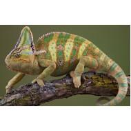 Йеменский хамелеон (Chamaeleo calyptratus) 10см