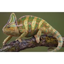 Йеменский хамелеон (Chamaeleo calyptratus) 10-12см