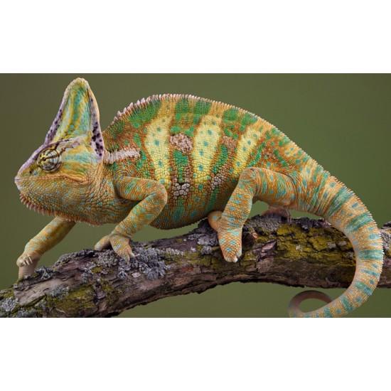 Фото Йеменский хамелеон (Chamaeleo calyptratus) 15см Смотреть