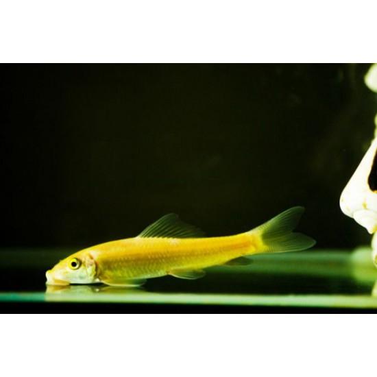 Фото Геринохейлус золотой (Gyrinocheilus aymonieri albino) - 4,5-5см Смотреть