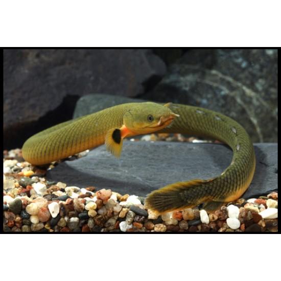 Фото Каламоихт калабарский (Erpetoichthys calabaricus) - 22-30см labeo.com.ua