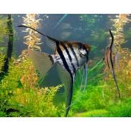 Скалярия полосатая обычная/вуалевая (Pteregophylum Scallare) - 3-3,5см