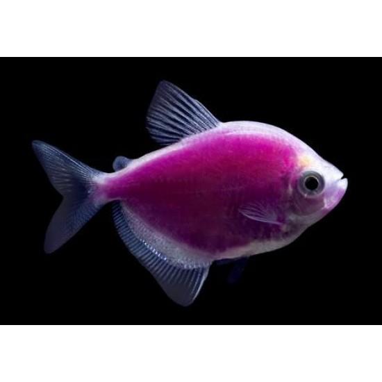 Фото Тернеция глофиш GloFish сирень (Gymnocorymbus ternetzi) - 1-1,5см Купить
