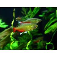 Афиохаракс рубиновый (Aphyocharax rathbuni) - 2-2,5см