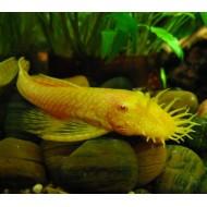 Анцитрус вуалевый обычный\желтый (Ancistrus dolichopterus) - 2,5-3см