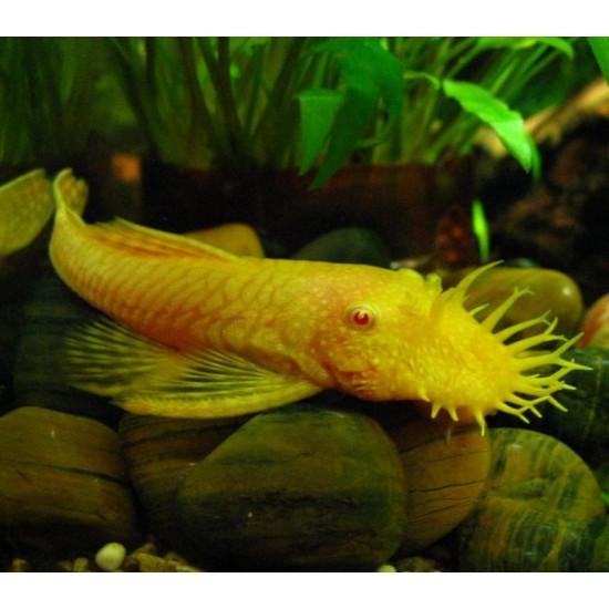 Фото Анцитрус вуалевый обычный\желтый (Ancistrus dolichopterus) - 4-5см Смотреть