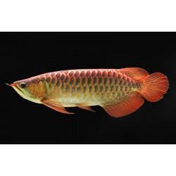 Арована золотая краснохвостая (SCLEROPAGES FORMOSUS) - 13-16см