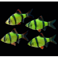 Барбус глофиш зеленый (Puntius tetrazona Glofish) - 4-5см