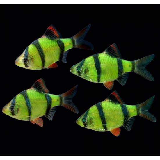 Фото Барбус глофиш зеленый (Puntius tetrazona Glofish) - 4-5см Смотреть