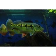 Цихла Ориноко (Cichla orinocensis) - 4-5см