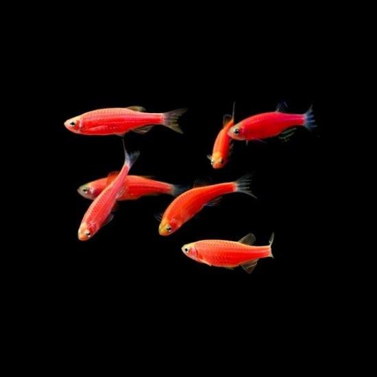 Фото Данио GloFish красная (Brachydanio rerio) - 2-3см Купить