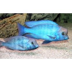 Дельфин (Cyrtocara moorii) - 4см