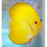 Дискус желтый кристалл (Symphysodon Discus) - 5см