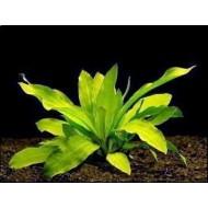 Эхинодорус (Echinodorus) куст