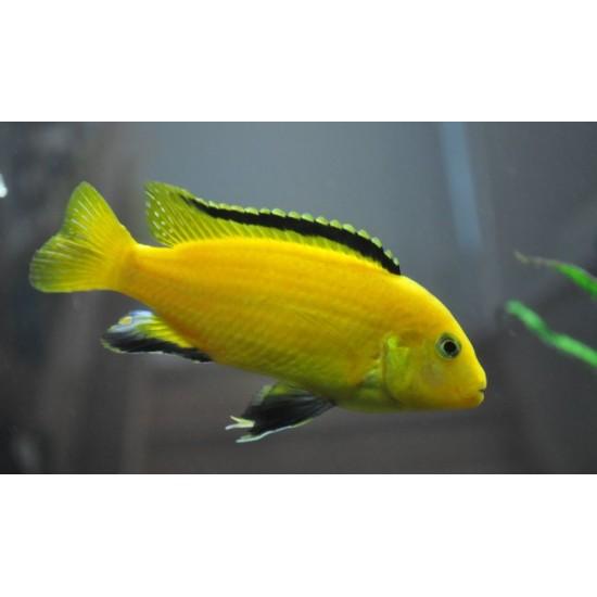 """Фото Еллоу (Labidochromis caeruleus """"Yellow"""") - 4-5см Смотреть"""