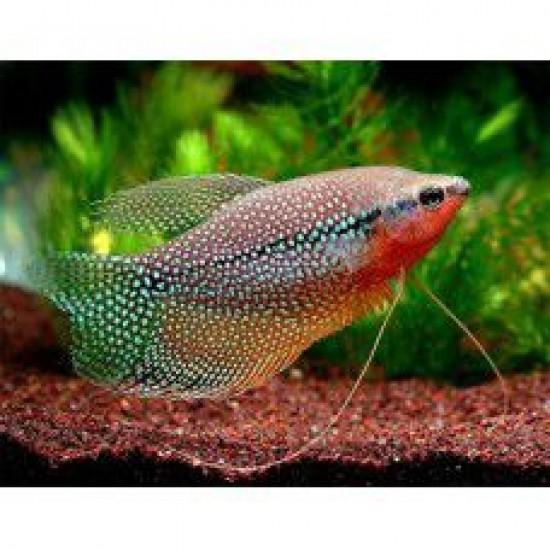 Фото Гурами жемчужный (Trichogaster leeri) - 5-5,5см Смотреть