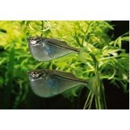 Клинобрюшка (Gasteropelecus sternicla) - 2-3см