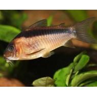 Коридорас Рабаути (Corydoras rabauti) - 2см
