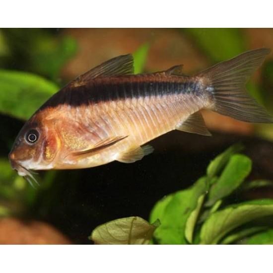 Фото Коридорас Рабаути (Corydoras rabauti) - 2см labeo.com.ua