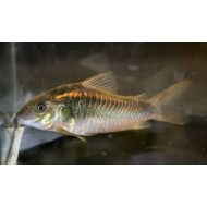 Коридорас шульца (Corydoras schultzei) - 2см