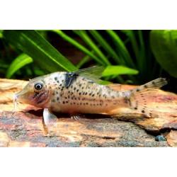 Коридорас септентрионалис (Сorydoras septentrionalis) - 2-3см