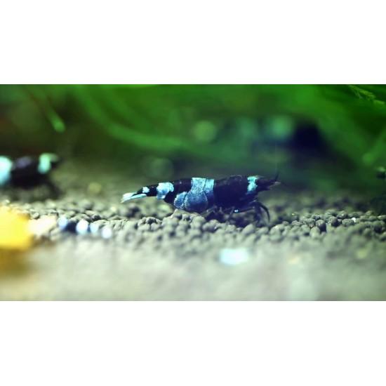 Фото Креветка Тайвань би панда (Taiwan Bee Panda) 1см Смотреть