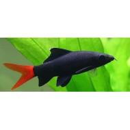 Лабео биколор (Labeo bicolor) - 2-3см