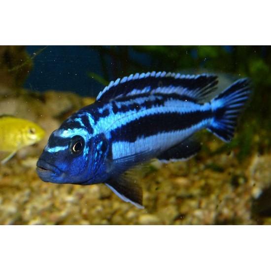 Фото Майнгано (Melanochromis cyaneorhabdos) - 2-2,5см Смотреть