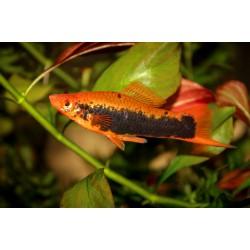 Меченосец кубинский (Xiphophorus helleri) - 3-4см