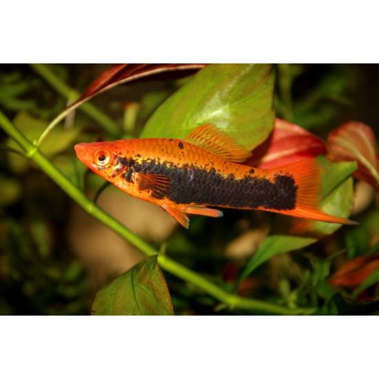 Фото Меченосец кубинский (Xiphophorus helleri) - 3-4см labeo.com.ua