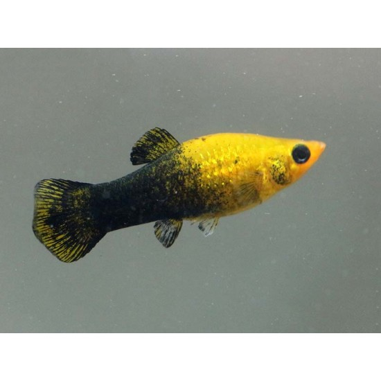 Фото Моллинезия желто-черная (Poecilia sphenops) - 3см Смотреть