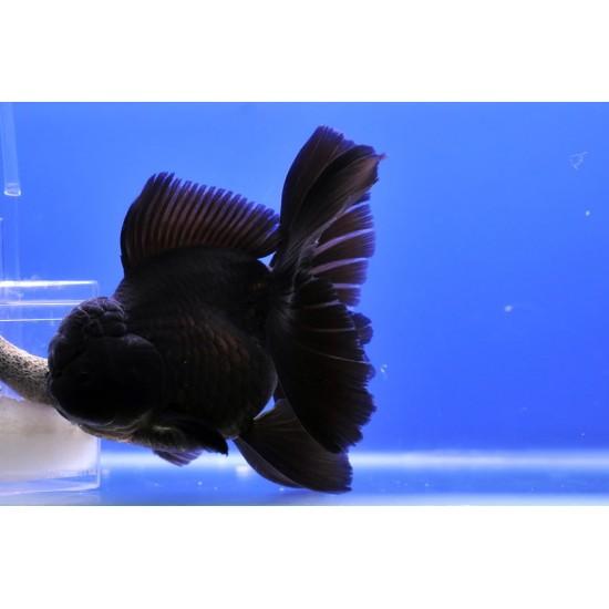 Фото Оранда черная (Carassius auratus) - 10-11см Купить