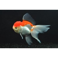 Оранда красно-белая круглая тайская (Carassius auratus) - 5см