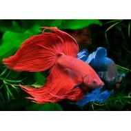Петух вуалевый красный, синий (Betta splendens) - 4-5см