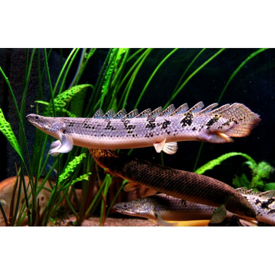 Фото Полиптерус Дельгези (Polypterus delhezi) - 7см Купить