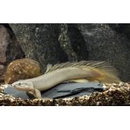 Полиптерус сенегальский (Polypterus senegalus) - 9-10см
