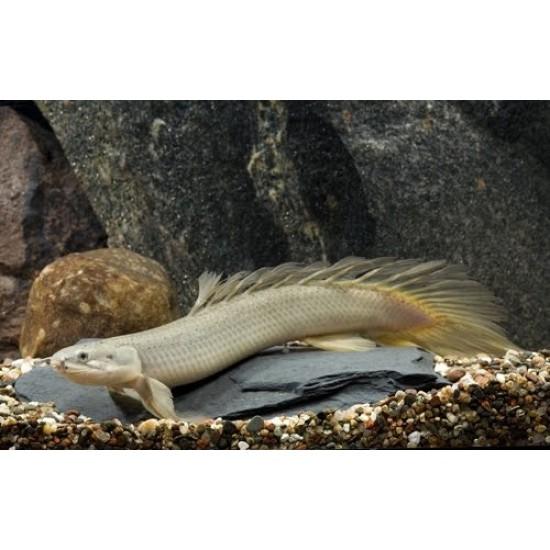 Фото Полиптерус сенегальский (Polypterus senegalus) - 9-10см labeo.com.ua