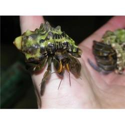 Рак отшельник (Coenobita rugosus)