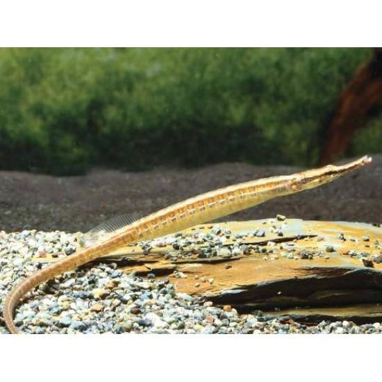 Фото Рыба игла (Doryichthys martensii) - 12-13см Купить