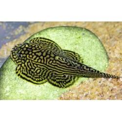 Севелия (Sewella lineolata)  - 2см