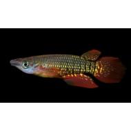 Щучка линеатус красный (Aplocheilus lineatus red) - 4см