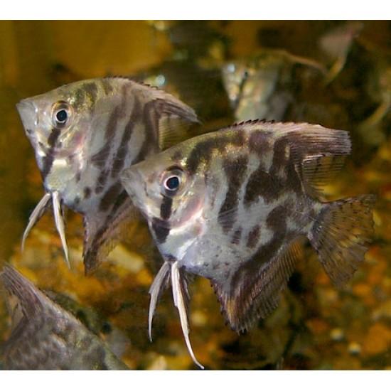 Фото Скалярия леопардовая (Pteregophylum Scallare) - 4см Смотреть
