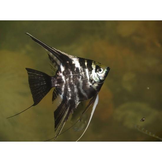 Фото Скалярия мраморная (Pteregophylum Scallare) - 4-5см Смотреть