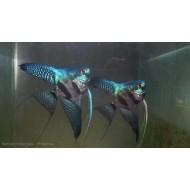 Скалярия пиной (Pteregophylum Scallare Pinoy) - 3-4см