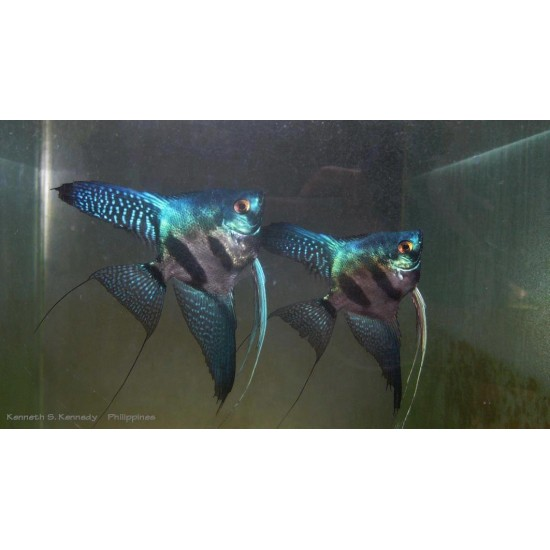 Фото Скалярия пиной (Pteregophylum Scallare Pinoy) - 3-4см labeo.com.ua